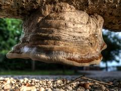 Upside Down (Skylark92) Tags: nederland netherlands holland brabant noordbrabant noord north paddestoel fungi zwam log boomstam tree mushroom macro hdr hilvarenbeek biesthoutakker