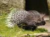 Stekelvarken (ericderedelijkheid) Tags: ouwehandsdierenpark rhenen dierentuin zoo netherlands