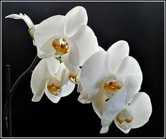 Phalaenopsis Orchid ... (** Janets Photos **) Tags: ukplants flora flowers whiteorchids closeups pov