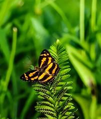Black-orange (tanreineer) Tags: butterflies nikonp900 antennas beauty colors alive dark