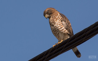 Petite Buse // Broad-winged Hawk