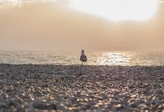 walking into the sunset (p.niebergall) Tags: seagull sea gull möwe sonnenuntergang sonne strand beach france frankreich normandie