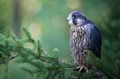 Grumpy Falcon (rmikulec) Tags: peregrine falcon raptor birds animals nature raptors focus