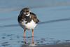 Turnstone (Shane Jones) Tags: turnstone bird wader seabird nature wildlife nikon d500 200400vr tc14eii