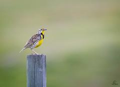 Western Meadowlark (M) Portrait *in explore* (Glatz Nature Photography) Tags: blackhills nature northamerica southdakota wildanimal wildlife