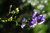 Monk's Hood (Theo Crazzolara) Tags: blauereisenhut eisenhut blau lila berg aconitum napellus alpen alps alpin blume flower nature monkshood monk hood aconite wolfsbane blue violet macro bokeh