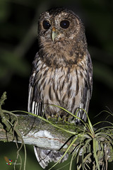 Mottled Owl (fernaabs) Tags: mottledowl húdeleón lechuza lechuzacafé ciccabavirgata aves strigiformes strigidae ciccaba avesdecostarica neotropicalbirds costaricabirds birds birwatcher birphoto fernaabs burgalin