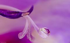 Inside Violet (YᗩSᗰIᘉᗴ HᗴᘉS +7 000 000 thx❀) Tags: pistil violet flower inside color macro flora hensyasmine drop droplet panasonic