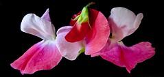 Sweet (Pufalump) Tags: sweet pea petals pink red white black bud rain drops water light dark delicate