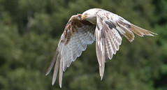 White Kite (KHR Images) Tags: redkite milvusmilvus whitekite leucistic rare wild bird birdofprey inflight flying gigrin farm rhayader wales wildlife nature nikon d500 kevinrobson khrimages