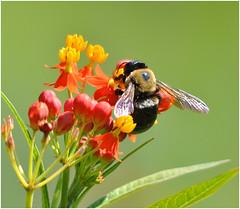 The Pollinator (Sun~Lover) Tags: pollinator pollination flower bee summer illinois glencoe chicagobotanicgarden bumblebee bombus bombini