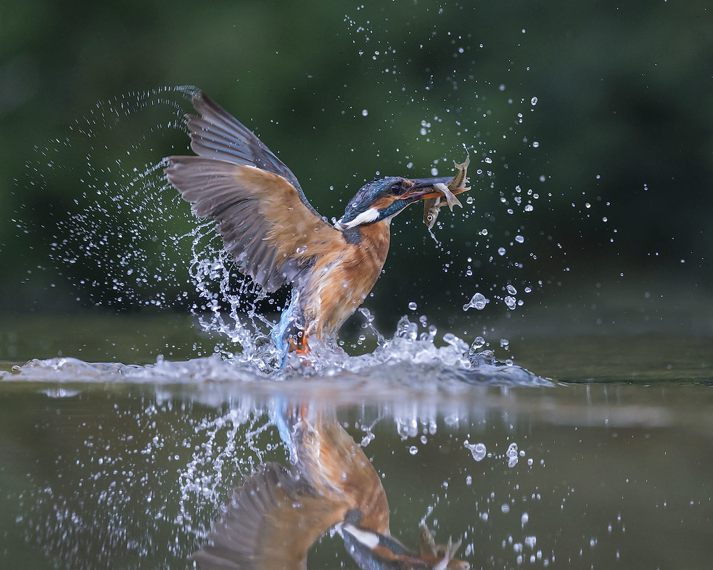 1024 x 819 jpeg 337kBCommonkingfisher