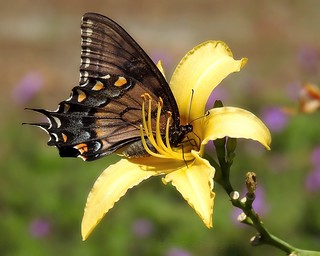 Dark Morph Tiger Swallowtail in Yellow Lily