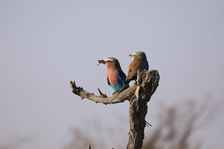 Pair of Lilac-Breasted Roller Birds Hwange National Park Zimbabwe Africa