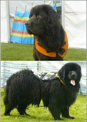 Water Rescue Newfoundlands .. (** Janets Photos **) Tags: uk hull citycentres dogs newfoundlands canine rescuedogs