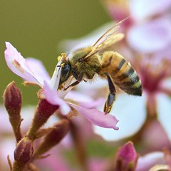 (mblaeck) Tags: flower nature animal bee pollen collectingpollen beecollectingpollen small closeup snalflower pinkflower insect collecting macro garden buzzing hovering beehovering 105mmmacro 105mm closeupofbee beecloseup