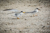 Least Tern AD & JV (halladaybill) Tags: bolsachica leasttern juvenile adult begging threatenedspecies nikond7100 nikkor80400zoomlens orangecounty california terns