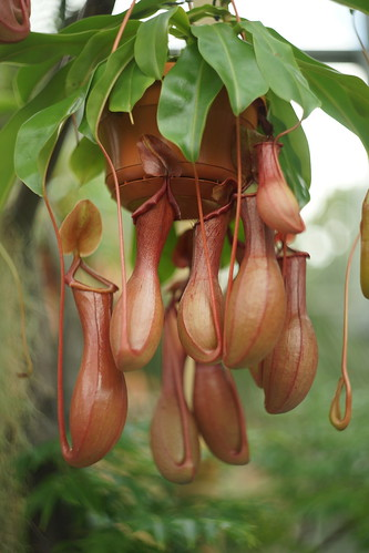 Bekerplant (Nepenthes)