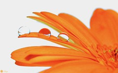 In a row [Explored] (Trayc99) Tags: bright flower petals macro closeup water droplets drops whitebackground highkey macromondays explore explored orange white