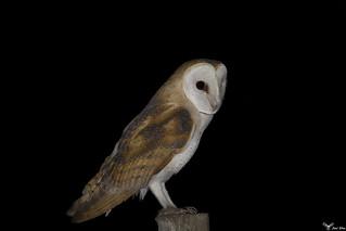 Coruja_das_torres - Barn owl (Tyto alba)  http://joelcsilva22.wix.com/joelsilvafotografia