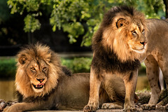 Two Lions 3-0 F LR 8-13-17 J187 (sunspotimages) Tags: lion lions nature wildlife zoosofnorthamerica zoos zoo nationalzoo fonz fonz2017 bigcats