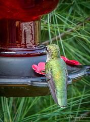 Hummingbird (jennbrowning) Tags: rvlife camping mckellar manitouwabing cottagecountry tinyjewel tinybird hummingbird