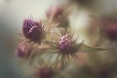 as summer fades (s@ssyl@ssy) Tags: lensbaby lensbabymacro weeds retroprocessing snapseed ipad app retro