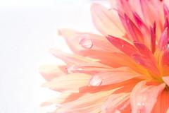 Fading away (HMM !) (ralfkai41) Tags: waterdrops macromondays blossom flower blume droplets makro natur garten nature highkey garden regentropfen dahlie tropfen raindrops dahlia blüte wassertropfen