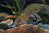 IMG_9838 (Laurent Lebois ©) Tags: laurentlebois france reptile rettile reptil рептилия tortue turtle tortoise tortuga tartaruga schildkröte черепаха chelonia sternotherus minor terrariophilie razorbackmuskturtle cinosterne