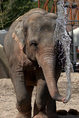 Goes the water up or down? (soetendaal) Tags: elephant water spray zoo shower animal artis sparkle explore 100 faves 5000views 6000