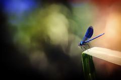 Meal Time (der_peste) Tags: dragonfly damselfly bokeh dof depthoffield insect color colour bubbles nature shallowdepthoffield predator calopteryxvirgo blaueprachtlibelle libelle sonya7m2 sonya7ii trioplan28100 meyeroptik trio