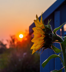 goodbye sun ((robcee)) Tags: 2017 orange place color flower moncton plant sun sunflower sunset exif:lens=olympusm1240mmf28 exif:focallength=38mm exif:make=olympusimagingcorp camera:model=em1 exif:aperture=ƒ56 exif:isospeed=200 camera:make=olympusimagingcorp exif:model=em1