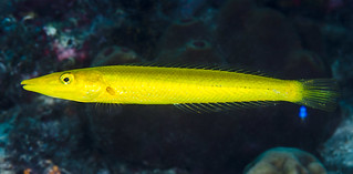 Cigar Wrasse, initial phase, yellow variation - Cheilio inermis