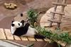 Rhenen - Ouwehands Zoo 2017-8571 (Quistnix!) Tags: 2017 ouwehandszoo dierenpark zoo pandaverblijf panda reuzenpanda ailuropodamelanoleuca wuwen