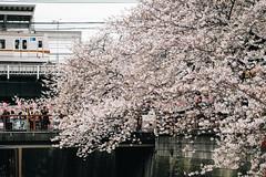 "Nakameguro, Tokyo, 2017 (librarymook) Tags: ""olympus pen f"" ""leica dg nocticron 425mm f12 asph"" rni rnifilms leica panasonic microfourthirds m43 olympus justgoshoot japanese train metro station crowd hanami sakura ""cherry blossom"" viewing full bloom canal bridge walkway daily life osanpocamera 東京カメラ部 nakameguro tokyo japan"