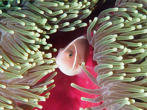 CelebesDivers - underwater 77 (Amphiprion perideraion)