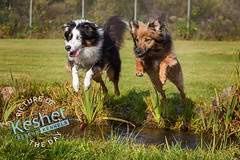 """Picture of the Day (Keshet Kennels & Rescue) Tags: dog rescue kennel kennels adoption """"dog adoption"""" ottawa ontario canada keshet large breed dogs animal animals pet pets """"blood bank"""" interactive game video portrait grass tree"""