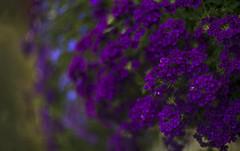 Deep Purple (Jens Tischer ☼ finelights) Tags: d800e nikon jenstischer blossom flowers depth bokeh blur dof carlzeissjena biotar75mm zeiss deeppurple