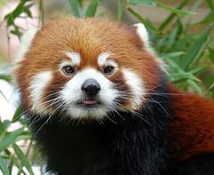 Clark (greekgal.esm) Tags: redpanda panda lesserpanda animal mammal sandiegozoo sdzoo sandiegozooglobal endextinction sandiego california sony rx10m3 rx10iii