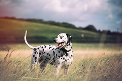 Fin enjoying the fresh air :) (Odd Jim) Tags: dalmatian dogs dog hound canon6d sigma 105mm prime pets field countryside fresh air smile smiling dslr