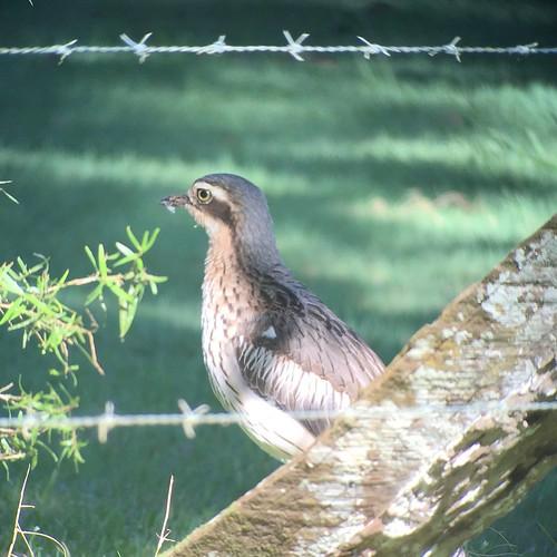 Shy Bush Stone-Curlew