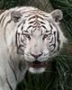 Powerful (sdejongh) Tags: animal cat eyes face feline nature pairidaisa predator snowtiger whitetiger wildlife