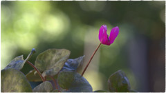 "Cyclamen"" (Nelson-V.) Tags:"