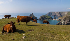 Kynance Cove Cattle (Christian Hacker) Tags: kynancecove cattle cow cows canon eos50d cornwall cornish nationaltrust tamron 1750mm outdoor meadow grass grazing turquois sea coast coastal beach rocky rocks cliff sunny autumn uk england red lizardpeninsula sssi geology rock ruby