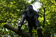 UN BUEN GORILA. A GOOD GORILLA. NEW YORK CITY. (ALBERTO CERVANTES PHOTOGRAPHY) Tags: animal jungle selva bueno good verde green forest fiel land zoologico zoo ground countryside realm camp portrait retrato photography planta plant arbol tree gorila gorilla