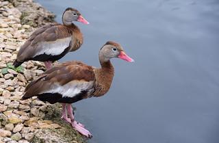 Black-bellied-whistling-duck_DSC0878