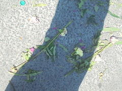 232 (en-ri) Tags: garofani asfalto sony sonysti giallo foglie leaves
