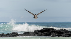 Galapagos (DROSAN DEM) Tags: pelican pelicano ecuador galápagos santa cruz