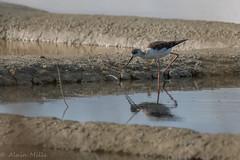 Echasse blanche (a.mille69) Tags: laturballe oiseaux