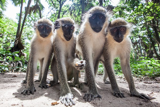 Monkey Business, The Gambia